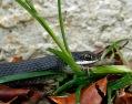 Snake Eating Lizard 6 P