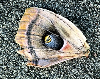 Polyphemus Moth On Sidewalk Detail
