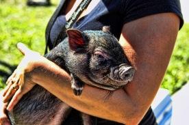 Round Up Pig A