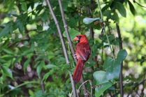 Cardinal in Bushes
