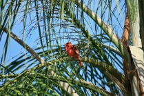 Cardinal in Palm Tree