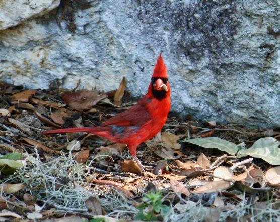 Cardinal with Food