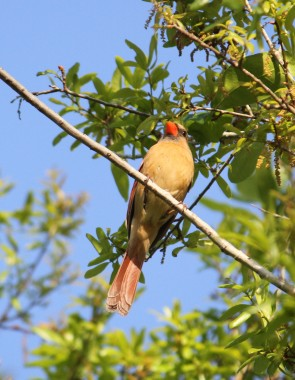 Female Cardinal 8.5 x 11
