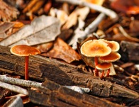 Orange Brown Mushroom 3