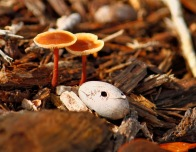 Orange Brown Mushroom 6