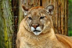 Florida Panther 1 P