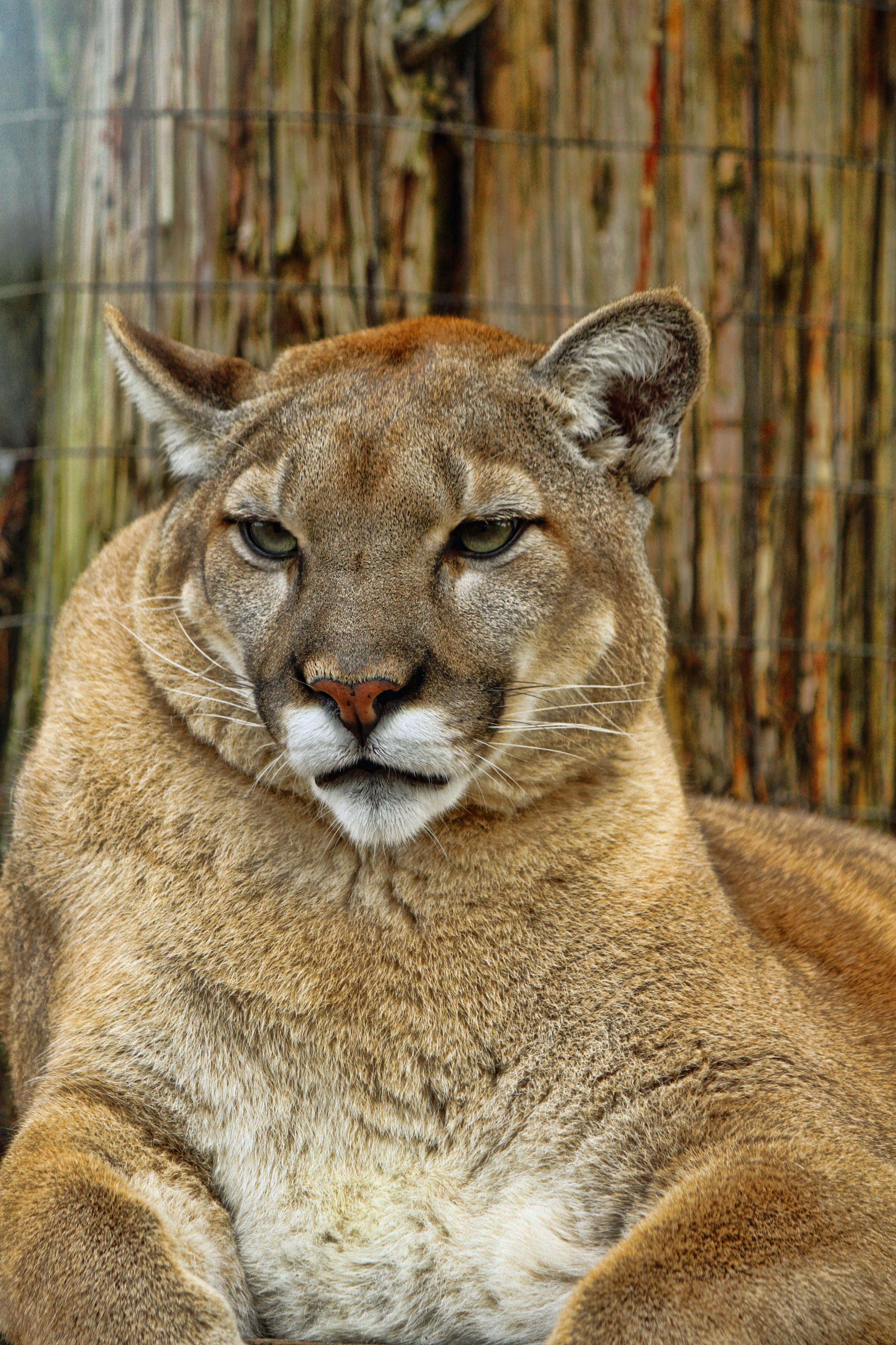 The Regal Florida Panther Naturechirp