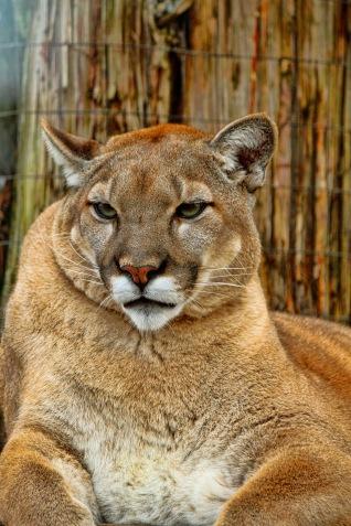 Florida Panther 3 P