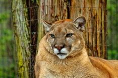 Florida Panther 5 P