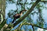 Anhinga Climbing Tree P