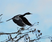 Anhinga Flying T