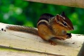 Chipmunk on Railing