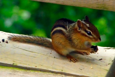 Chipmunk on Railing
