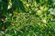 Elderberries Green