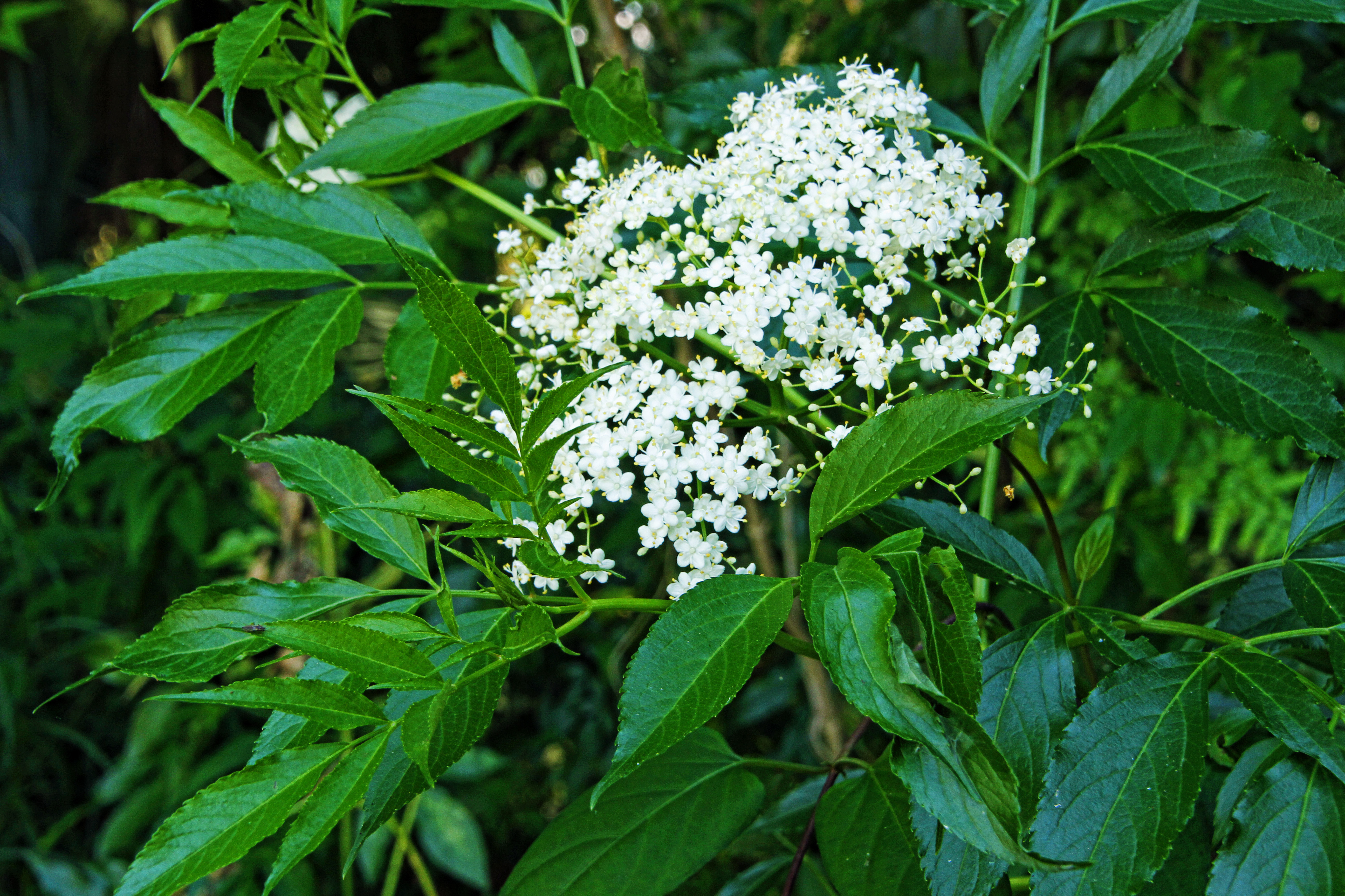 Elderberry A Shrub With Many Uses Naturechirp