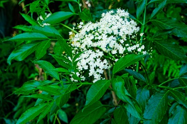 Elderberry Flowers and Leaves