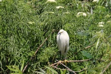 Elderberry Thicket with Egret