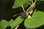 Mulberry with one Berry