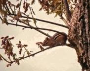 Eastern Chipmunk in Tree