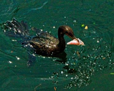 Cormorant with Fish Scrap