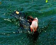 Cormorant with fish Scrap P B