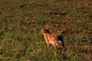 Cottontail Rabbit Running