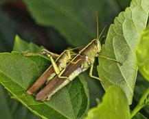 Grasshopper Sex 3