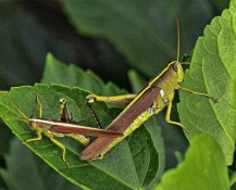 Grasshopper Sex 4