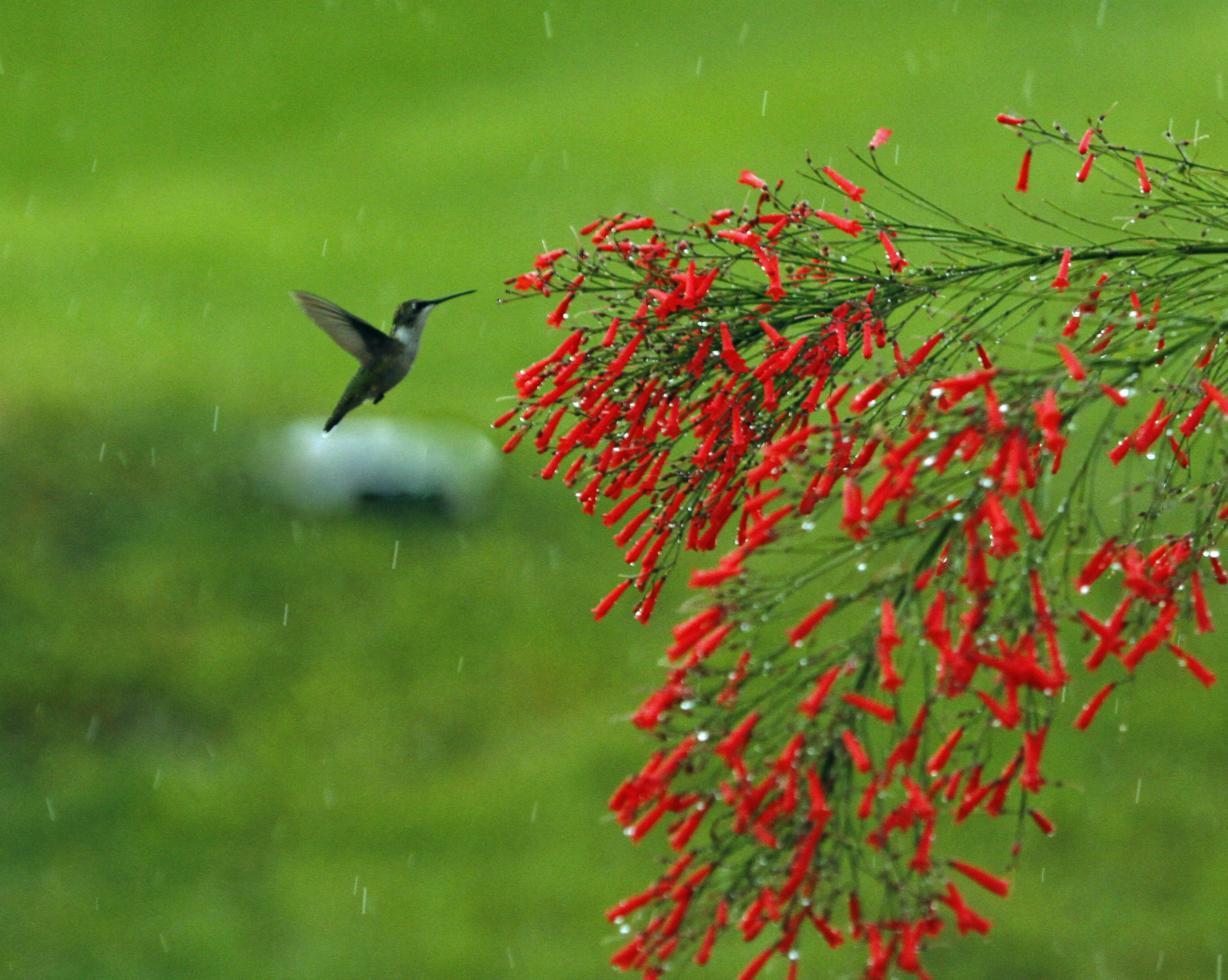 Straggler Hummingbird Welcomed Naturechirp