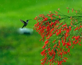 Hummingbird Hovering Firecracker Bush