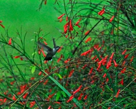 Hummingbird in FireCracker Bush