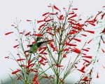 Hummingbird Sipping Firecracker Bush 3