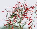 Hummingbird Sipping Firecracker Bush 3