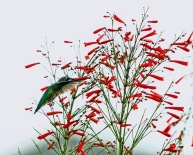 Hummingbird Sipping Firecracker Bush 4