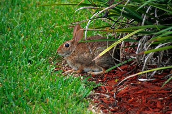 Rabbit Resting