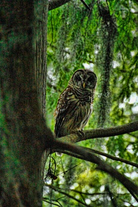 Barred Owl 3