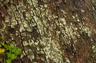 Crusctose Lichen