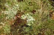 Foliose Lichen