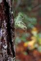 Frucicose Lichen