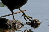 Coots lack webbed feet. They have lobes around their toes that enable them to swim.