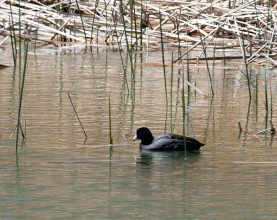 American Coot in Oasis P