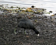 Out of the water, the coot looks like a chicken thus its nickname the moorhen.