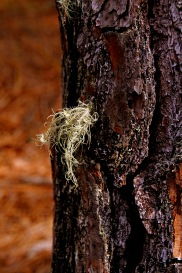 Because this lichen is bushy, it has a lot of surface area making it sensitive to air pollution.