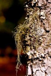 Bearded Lichen 5 P