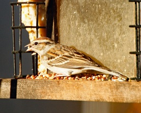 Chipping Sparrow on Feeder