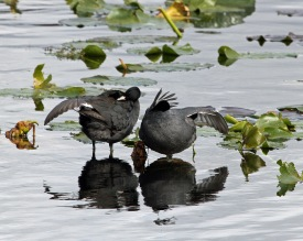Coots Outstretched Wings