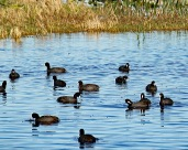 Coots are often seen in flocks.