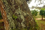 Tree bark expands faster than the lichens can disolve the wood so no harm done.
