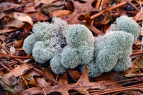 There are different species on this lichen found around the world.