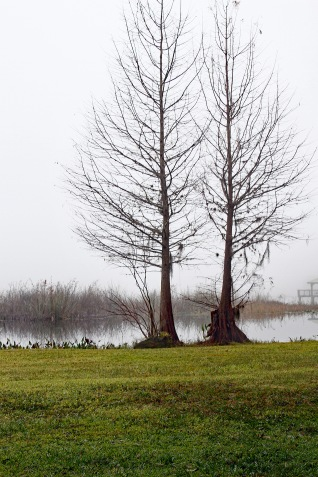 Trees Foggy Morning